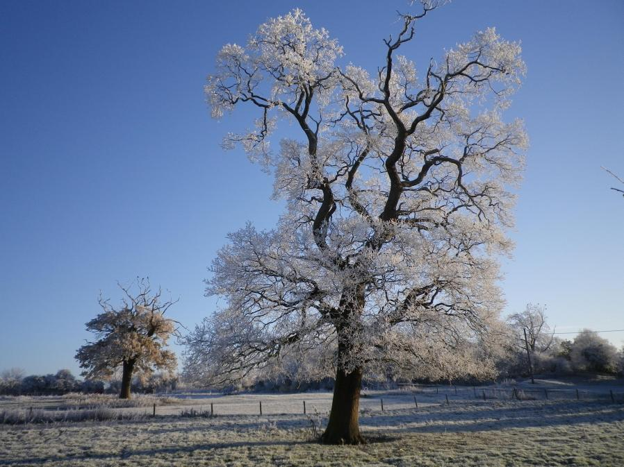 An Oak Tree in the Former Bailey of Lavendon Castle - 7th December 2010